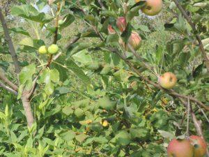 25-pommes-et-coings