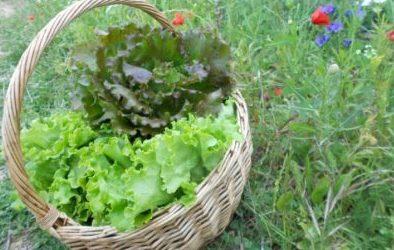 récolte incroyables comestibles